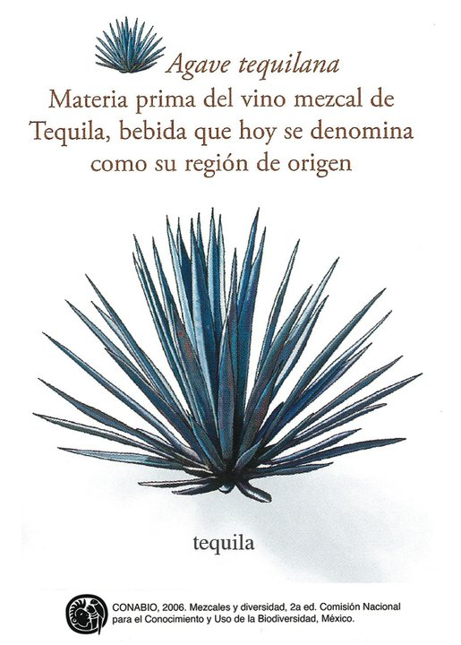 Agave Tequilana Weber Azul